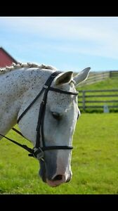 Intermediate/novice flat Gelding for sale