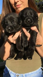 Labrador X German Shepherd Puppies