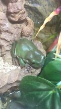 Northern Green Tree Frog North Perth Vincent Area Preview
