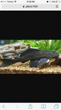 Wtb a pleco Harrisville Ipswich South Preview