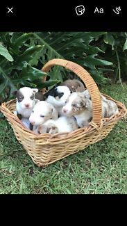 Koolie puppies