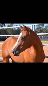 AQHA Quarter horse filly Kenmore Brisbane North West Preview