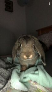 6 Month Old Female Lop Rabbit