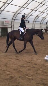 5 Year Old Hunter Hack Mare
