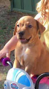 Blue Heeler cross Bull Mastiff Pups Longreach Longreach Area Preview