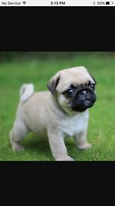 PUG PUPPY WANTED