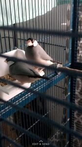 Beeeding pair java rice finches & cage!
