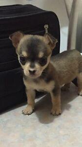 Chihuahua puppy wanted Morphett Vale Morphett Vale Area Preview