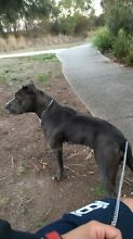 Female blue nose staffordshire Roxburgh Park Hume Area Preview