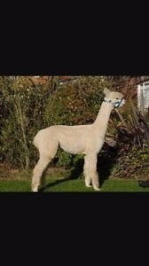 Two stud male alpaca's for sale Morayfield Caboolture Area Preview