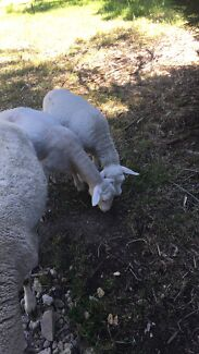 Twin white dorper lambs for sale