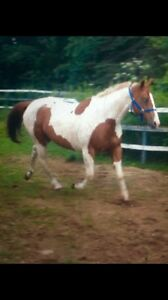 Paint Mare available