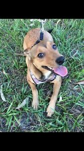 Roxy  A SECOND CHANCE ANIMAL RESCUE Deception Bay Caboolture Area Preview
