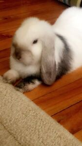 Beautiful lop eared bunny for sale