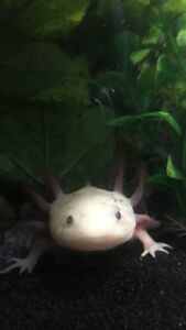 Albino Axolotl with set up !