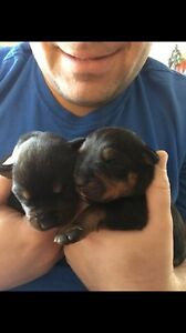 Pure Bred ROTTWEILER PUPPIES !!