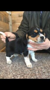 Beagle Female puppies