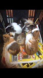 Lots of baby Guinea pigs Cambridge Gardens Penrith Area Preview