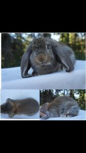 Pedigree French Lop Bunnies