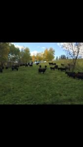 Purebred Black Angus/Commercial Cattle