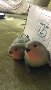 Baby Lovebirds looking for a home
