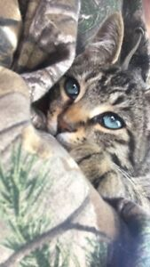 Blue eyed bengal mix kitten for sale