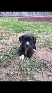 Labrador X Puppies Keperra Brisbane North West Preview