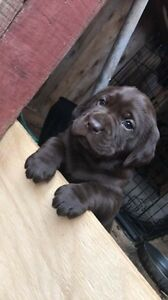 Chocolate lab puppies **SOLD**