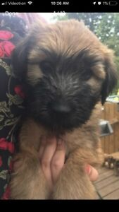 Soft coated wheaten terrier enr.