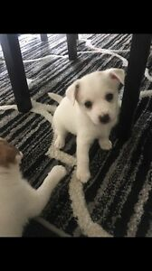 Fox terrier pups for sale Blacktown Blacktown Area Preview