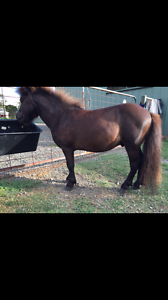 Miniature stallion for sale Lambs Valley Glen Innes Area Preview