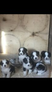 Bernese mountain dog and Pyrenees cross puppies