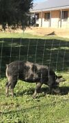 Pet pig! North Dandalup Murray Area Preview