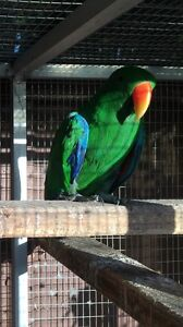 4 year old eclectus Beverly Hills Hurstville Area Preview