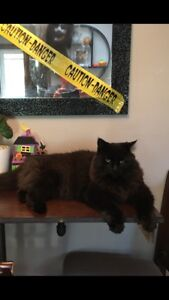 Lost Cat - Black and Fluffy