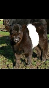 Belted Galloways all Miniature Only 1 left now Garfield Cardinia Area Preview