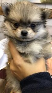 Only 2 Male Pom's Puppies left !