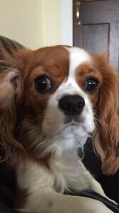 Wanted: King Charles Cavalier Adelaide CBD Adelaide City Preview