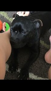 Lost Dog  male English staffy Burleigh Heads Gold Coast South Preview