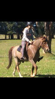 Horse for Sale Boisdale Wellington Area Preview
