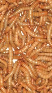300 mealworms