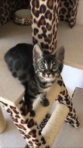 Femelle bengal charcoal spectaculaire disponible!
