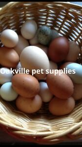 Pure show breed chicken fertile eggs and chicks also pullets Riverstone Blacktown Area Preview