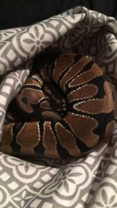 3 year old enchi BP male