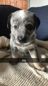 Lab blue heeler puppies for sale