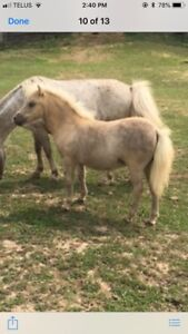 AMHR filly for sale