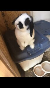 2 female bunnies for sale