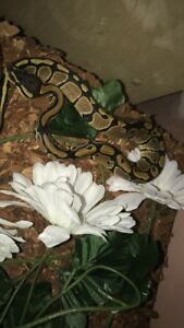 Cuddly, Hand Tamed Baby Ball Python / Snake + All Supplies