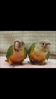 Pineapple Conures hand raised  Pimpama Gold Coast North Preview