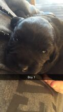 Spanador puppies for sale Beauty Point West Tamar Preview